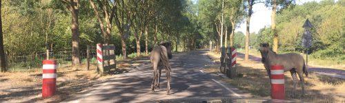 Wilde paarden gespot
